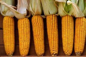 Южна Корея търси внос на фуражна царевица за юни/юли 2021