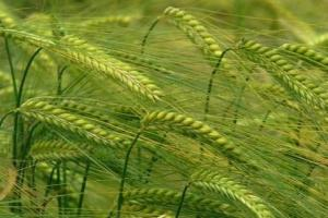 Иран договаря внос на фуражен ечемик от Индия