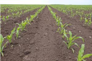 Голяма китайска покупка на царевица подкрепя зърнените пазари