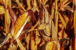 Кораб с органична царевица от Турция плава за САЩ