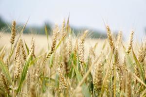 Експортните цени на руската пшеница продължават да се снижават