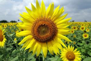 Турция премахва вносните мита върху слънчогледовото олио до края на юни