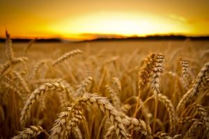 Пазарът на старата реколта пшеница развява бялото знаме