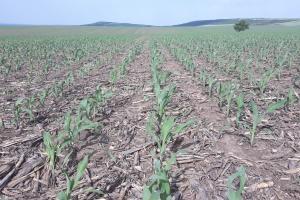 Пшеницата в САЩ в по-лошо състояние от миналата пролет