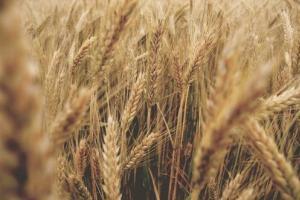 Египет договаря първи внос на пшеница реколта 2021