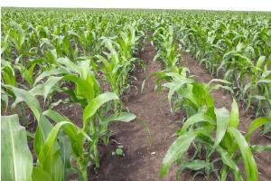 Strategie Grains повишават с малко новата реколта царевица в ЕС