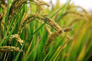 Бангладеш е обявил търг за внос на 50кмт ориз