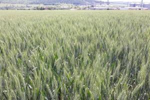 Състоянието на пшеницата и ечемика във Франция се влошава