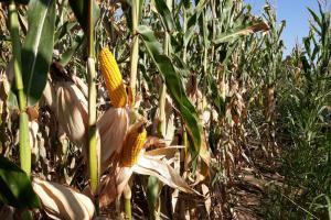 Южна Корея плаща доста повече за внос на фуражна царевица