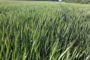 Египет отказва внос на пшеница и това отключва продажби