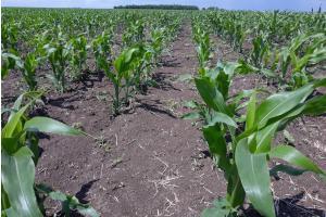 Южна Корея договаря внос на украинска царевица, реколта 2020