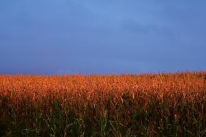 Европейската и американска царевица не спират да записват нови върхове