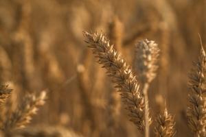 Изключително добра първа седмица на май за зърнени и маслодайни