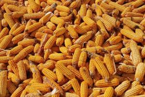 Южна Корея ще търси внос на царевица с произволен произход