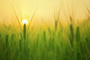 USDA в Москва вижда по-малко царевица и ечемик в Русия