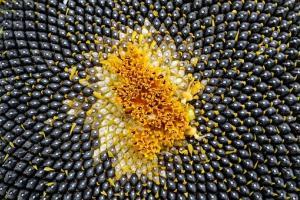 Пазарът на слънчоглед под натиск от валежи в Черно море