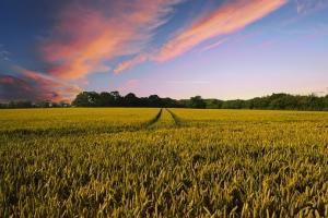 Пролетната пшеница в САЩ се влошава, но царевицата се подобрява