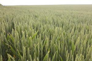 Пшеница и рапица на MATIF поевтиняват на седмична база