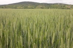 Филипините договарят внос на фуражна пшеница за юли