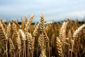 Египет ще се възползва от поевтиняването на пшеницата