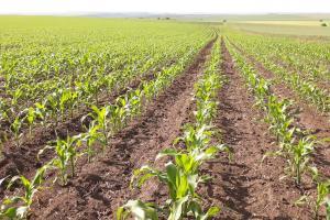 Пазарът на царевицата в Чикаго пропада с позволения дневен лимит