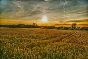 Зърнените пазари отслабват въпреки рязко влошен посевен рейтинг