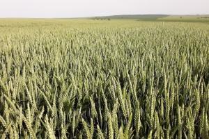 Бангладеш е отменил търг за внос на хлебна пшеница