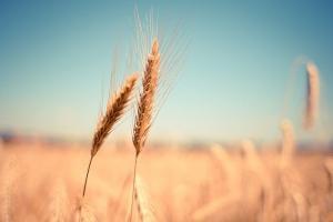 Американската пшеница поддържа твърдо текущите си нива