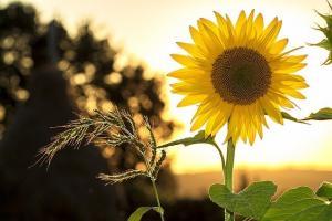 Аржентинските фермери ще увеличат площите на слънчоглед с 38%