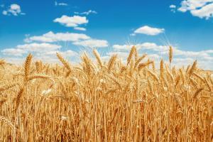 Понижаващи се оценки за производството подкрепят пшеницата