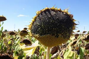 Колко сериозни ще са щетите от юлското засушаване за слънчогледа и царевицата?