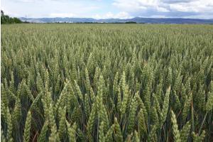 Пшеницата в Париж тества върховите цени от април/май