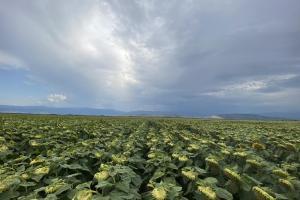 Очаквани валежи потискат зърнените пазари в Чикаго