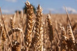 Пазарът на пшеница в Чикаго продължава с негативна корекция