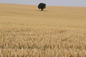 В Румъния отчитат рекордно производство на пшеница и ечемик
