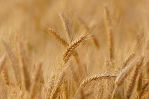 Алжир договаря внос на до 400кмт хлебна пшеница