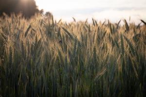 Със значително по-нисък хектолитър ще е новата реколта френска пшеница