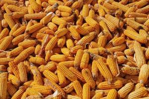 Турция договаря внос на 325кмт фуражна царевица за ноември