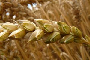 Вносната цена на пшеницата за Йордания също поскъпва